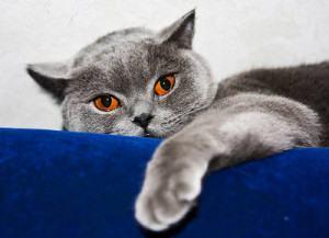 gatos que ficam agressivos