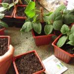 Como Plantar com Sementes Compradas e ser bem Sucedido