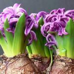 Plantas Bulbosas: Como Guardar Bulbos para o Ano Seguinte