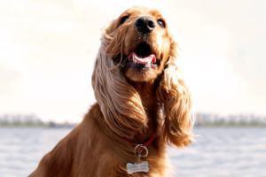 Como Reconhecer a Otite no Cachorro