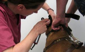 diagnosticando a otite canina