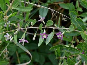 planta goji berry