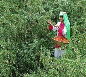 colheita de goji berry