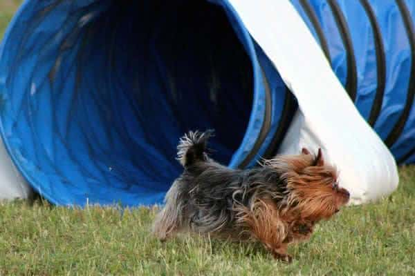 Yorkshire Terrier rhia- neves