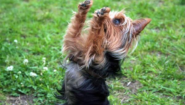 "Yorkshire Terrier: Tudo Sobre o ""Pequeno Notável"""