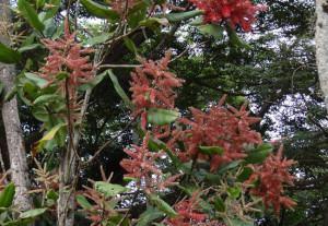 Pau formiga (Triplaris americana)