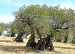 Oliveira (Olea europaea L.)