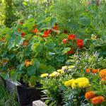 Um canteiro de hortaliças decorativo
