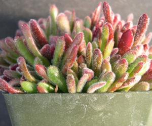 Como plantar a suculenta Crassula Pubescens – Tapete vermelho