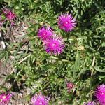 Cacto-Margarida (lampranthus)