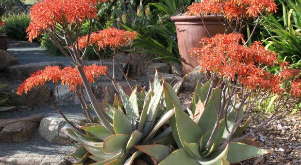 Aloe Coral (Aloe Striata)