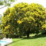 Falso-Barbatimão  (cassia leptophylla)