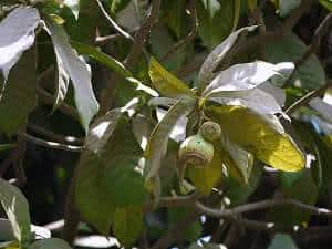 geniparana
