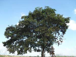 Pimenta-de-Macaco (xylopia aromatica)