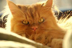 O Gato Persa
