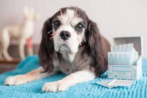 Acupuntura para Cães