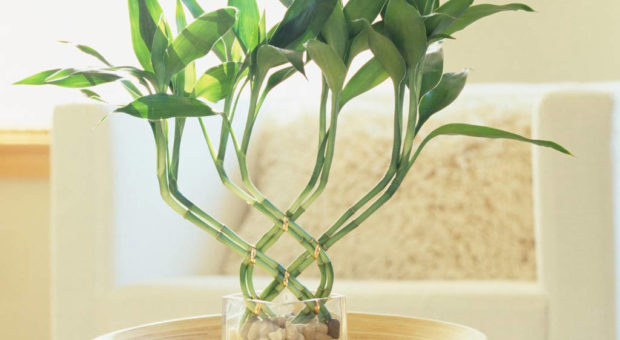 Bambu-da-Sorte (Dracaena Sanderiana)