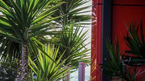 Iuca (Yucca)