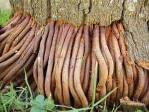 palmeira raízes