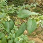 Alecrim-Pimenta (Lippia sidoides)