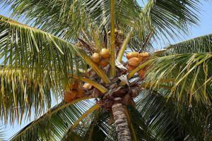 O Coqueiro Anão