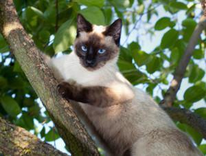 O Gato Siamês