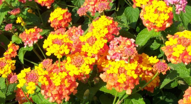 Plantas Tóxicas ou Venenosas