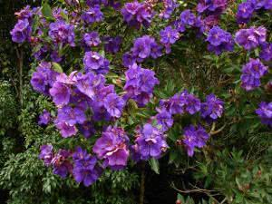 tibouchina urvelliana