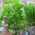 Plante Cheiro Verde em Casa