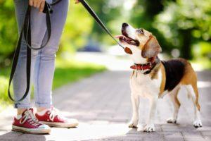 Como Ensinar seu Cachorro a Passear com Coleira