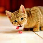 Alimentação Caseira para Gatos: Guia Básico