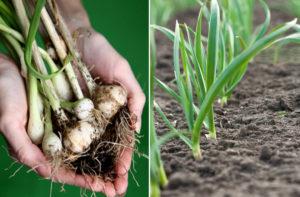 Como plantar Alho (Allium Sativum)