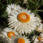 Flores Sempre-Vivas: Conheça as Variedades
