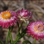 Sempre-Viva Flor-de-Palha (Helichrysum bracteatum)