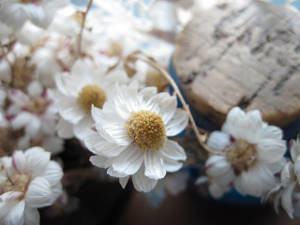 Helipterum roseum