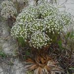 Sempre-Viva Chuveirinho (Paepalanthus Polyanthus)