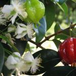 Cultive Árvores Frutíferas em Varandas e Jardins