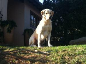 O Labrador Retriever