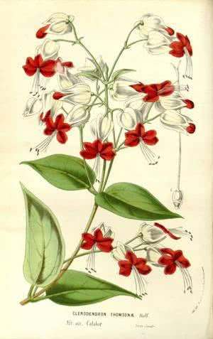Clerodendron thomsonae