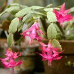 Cacto Flor de Maio (Schlumbergera truncata)