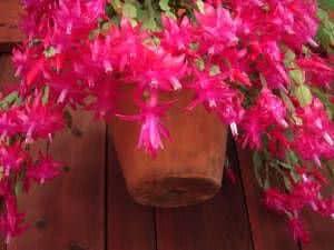 flor de maio vaso pendente
