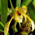 Orquídea Brasileira Maxilaria (Maxillaria Rupestris)