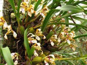 Maxillaria Rupestris