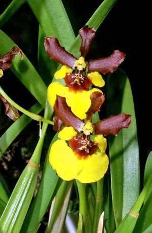 Oncidium croesus