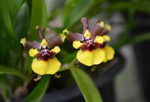 Orquídea Mini-Chocolate (Oncidium Croesus)