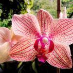 Como Salvar a Orquídea Phalaenopsis com Fungos