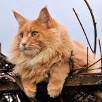 Maine Coon: O Gato Gigante