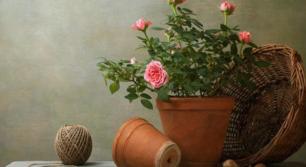 Plantando Rosas em Vasos