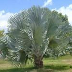 Palmeira Azul (Bismarckia nobilis)