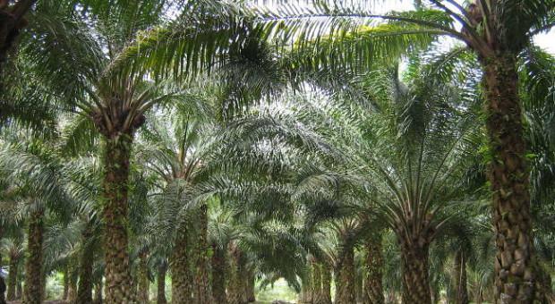 Palmeira de Dendê (Elaeis Guineensis)